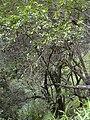 Starr 031023-0007 Nestegis sandwicensis.jpg