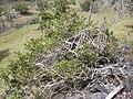 Starr 031111-0123 Psydrax odorata.jpg