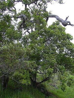 Cheirodendron trigynum