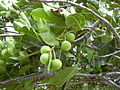 Starr 040711-0232 Calophyllum inophyllum.jpg