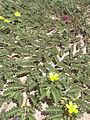 Starr 040801-0001 Tribulus cistoides.jpg