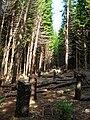 Starr 041113-0766 Araucaria columnaris.jpg
