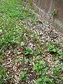Starr 061105-9636 Murraya paniculata.jpg