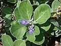 Starr 061129-1713 Vitex rotundifolia.jpg