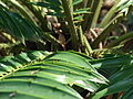 Starr 070306-5125 Encephalartos sp..jpg