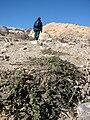 Starr 071226-0804 Erodium cicutarium.jpg