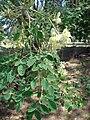 Starr 080531-4884 Moringa oleifera.jpg