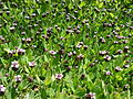 Starr 080602-5470 Phyla nodiflora.jpg
