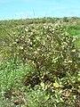 Starr 080605-9243 Solanum nelsonii.jpg