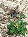 Starr 080611-9556 Euphorbia cyathophora.jpg