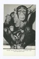 Staten Island Zoo's Famous Chimpanzee Judy with her baby Patsy (NYPL b15279351-105160).tiff