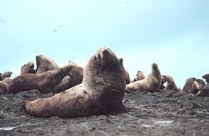 Stellerscher Seelöwen