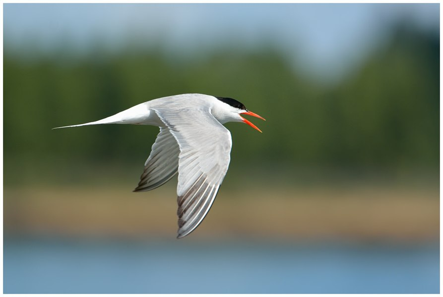Common tern flying in France