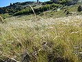 Stipa nelsonii and Stipa richardsonii (27967598576).jpg