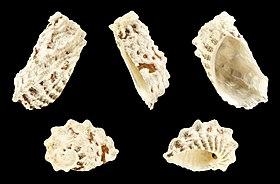Stomatia phymotis 01.JPG