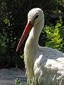Stork لک لک 02.jpg