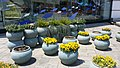 Street basins of flowers blooming In Sasebo.jpg