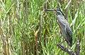 Striated Heron (Butorides striata atricapilla) (32896787868).jpg
