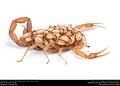 Striped Bark Scorpion (Buthidae, Centruroides vittatus (Say)) (36072007284).jpg