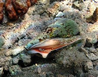 Strombidae - (Strombus) Conomurex decorus at La Réunion.