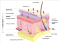 Structure of mammalian skin and the layers typically present in parchment.png