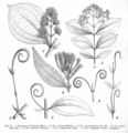 Strychnos spp EP-IV2-021.png
