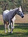 Stukenbrock Senner Pferde Moosheide 089, cropped.jpg
