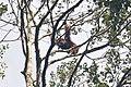 Sumatra indonesia orangutan kedah gunungleuser (25285384422).jpg