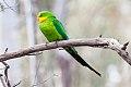 Superb Parrot (Polytelis swainsonii) (8079600808).jpg