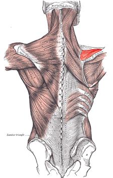 musculus supraspinatus