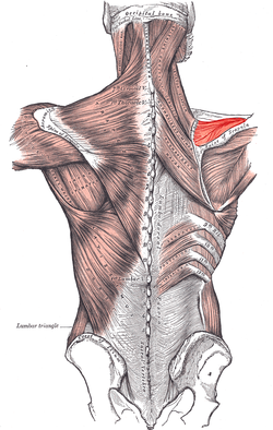 Posterior view of muscles connecting the upper extremity to the ...