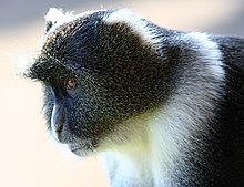 Sykes' Monkey, Kenya Mountain Lodge.jpg