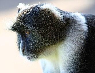 Sykes' monkey - Sykes' Monkey from Mt. Kenya