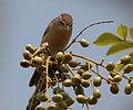 Sykes's Warbler (Hippolais rama) on Lannea coromandelica fruits W IMG 7805.jpg