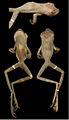 Systematics-of-treefrogs-of-the-Hypsiboas-calcaratus-and-Hypsiboas-fasciatus-species-complex-(Anura-ZooKeys-370-001-g011.jpg