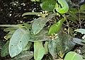 Syzygium mundagam 08.JPG
