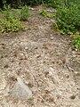 Szczotlicha siwa (Corynephorus canescens ) Puszcza Wkrzańska SDC17119.JPG