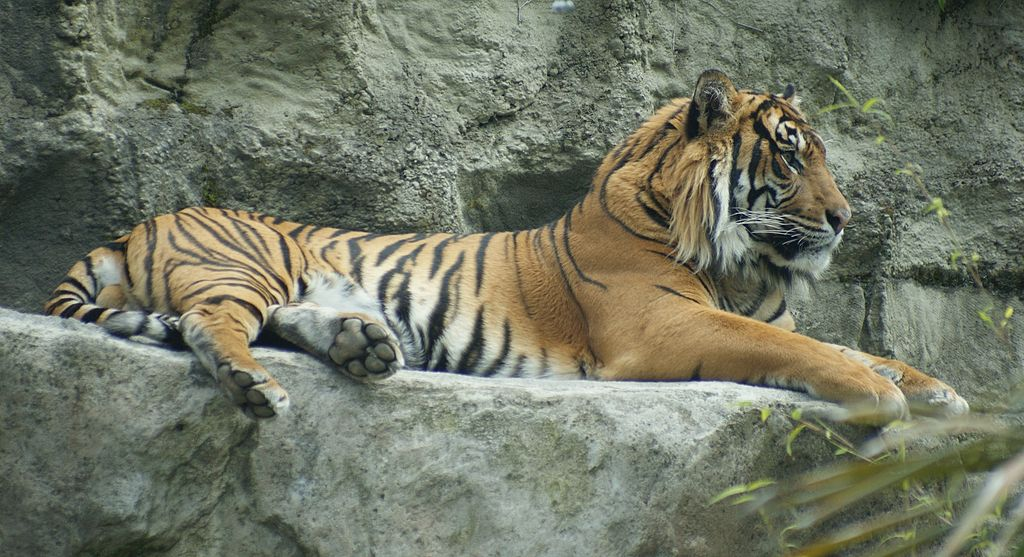 File:TIger at Auckland Zoo - Flickr - 111 Emergency (1).jpg ...
