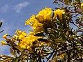 Tabebuia aurea flowers.jpg