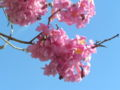 Tabebuia impetiginosa inflorescencia.jpeg