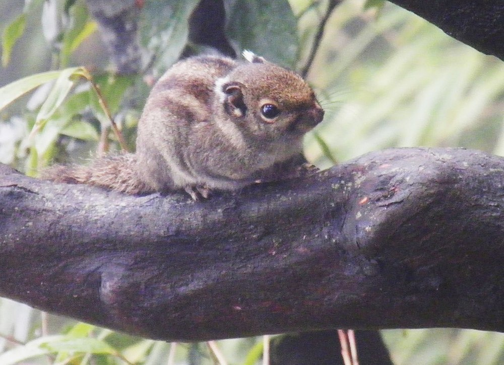 The average litter size of a Maritime striped squirrel is 2