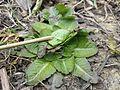 Taraxacum serotinum sl32.jpg