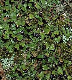 Targionia hypophylla 20100424a detalle.jpg
