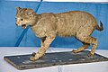 Taxidermied Jungle Cat - Palta - North 24 Parganas 2012-04-11 9581.JPG