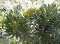 Teline linifolia.jpg