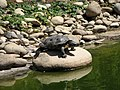 Terrapin - Lagos Zoo - The Algarve, Portugal (1736107034).jpg
