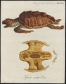 Testudo caretta - 1700-1880 - Print - Iconographia Zoologica - Special Collections University of Amsterdam - UBA01 IZ11600211.tif
