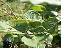 Tettigonia viridissima, la grande sauterelle verte mâle.jpg