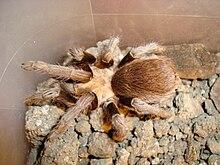 Texas Brown Tarantula.jpg