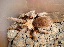 Texas Brown Tarantula.jpg